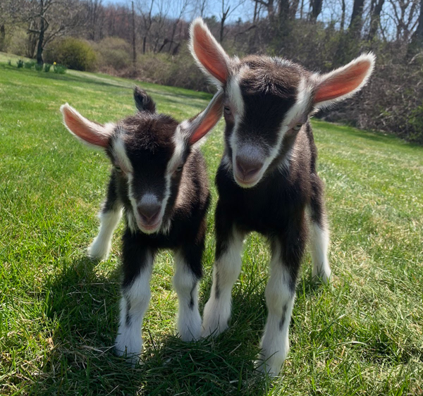 [PIC] Two Baby Goats Surveiled By The Career and Technical Institute Plant & Animal Science Program